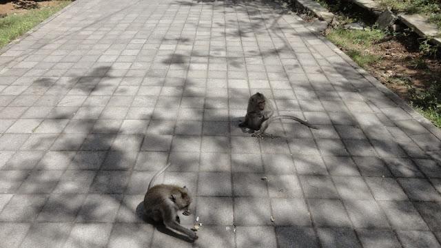 macacos no templo de Uluwatu