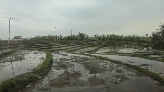 rizicultures à Ubud
