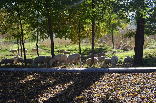 Ovelha e o pastor