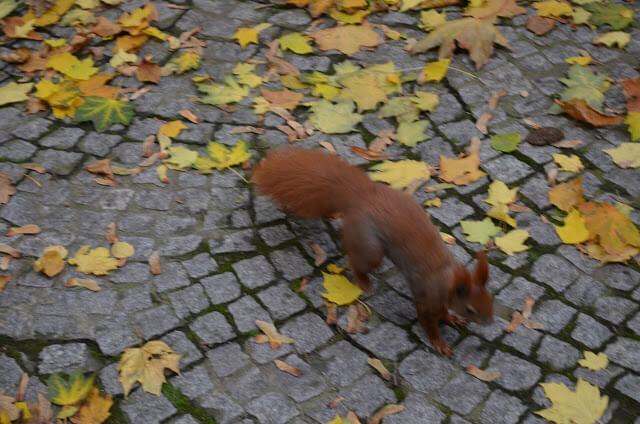 Esquilo ruivo