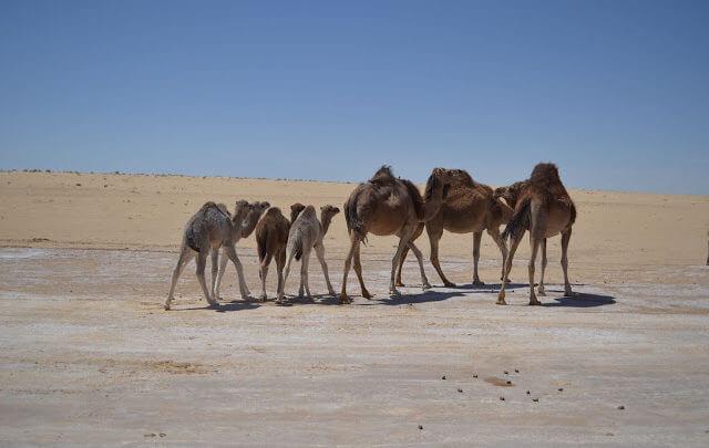 Douz a porta do deserto do Sahara na Tunísia