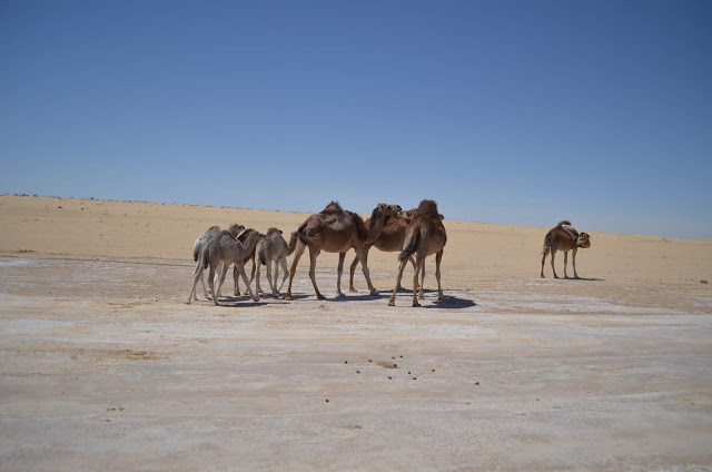 Camelos selvagens no deserto do Sahara