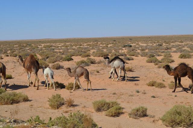 Camelos no Deserto do Sahara da Tunísia